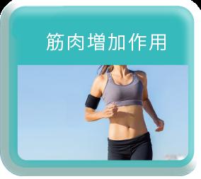 筋肉増加作用